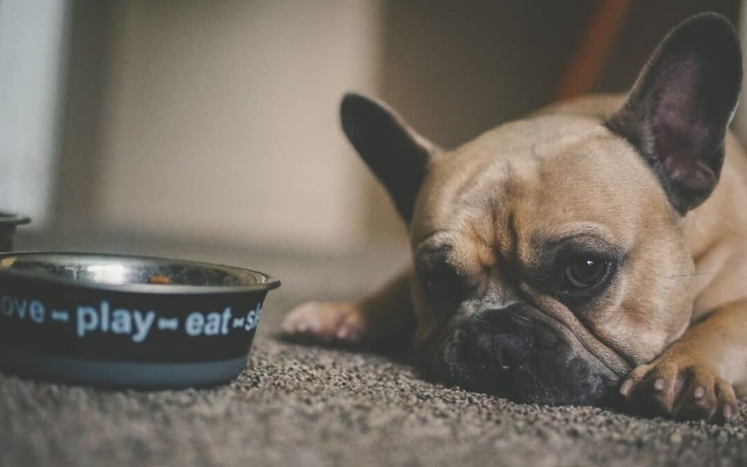 Min hund vil ikke spise sin mad – hvad gør jeg?