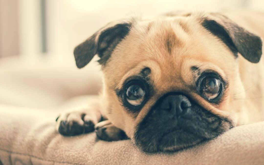 Hund alene hjemme – sådan undgår du problemer
