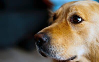 10 symptomer på en stresset hund, du ikke må overse