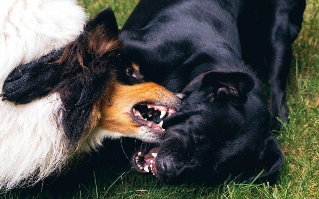 Min hund er aggressiv over for andre hunde